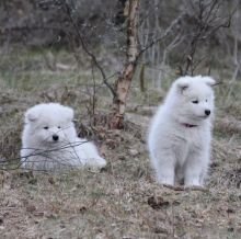 Male and Female Samoyed Puppies