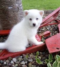 Precious Pomsky Puppies For Adoption