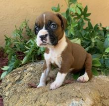 Purebred Boxer puppies for adoption