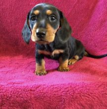 Quality Dachshund Puppies For Adoption