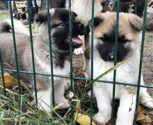 Remarkable Akita puppies for adoption