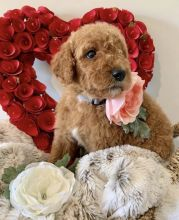 Super Pretty GOLDEN DOODLE Puppies For Adoption