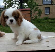Sweet Cavalier King Charles puppies for adoption