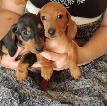 Dachshund puppies looking for good and loving homes.