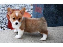 Intelligent Corgi puppies for adoption Email US (bryanmoore688@gmail.com )