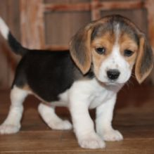 Well train Beagle puppies for adoption Email US (bryanmoore688@gmail.com )