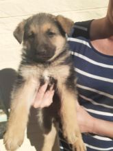 Intelligent German Shepherd puppies for adoption Email US (bryanmoore688@gmail.com )