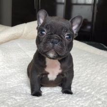 Intelligent French bulldog puppies for adoption Email US (bryanmoore688@gmail.com ) Image eClassifieds4U