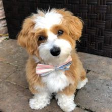 ❤️ ❤️Adorable Havanese Babiesfor re-homing - (431) 302-3667❤️❤️❤️