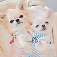 2 amazing little Chihuahua puppies