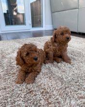 Beautiful Cavapoo Puppies! READY NOW!