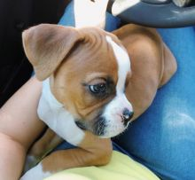 Boxer Puppies ready