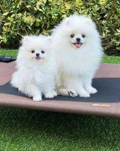 Charming Ckc Pomeranian Puppies For Adoption