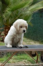 Golden Retrievers Puppies For Good Homes