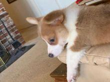 Pembroke Welsh Corgi Puppies Needing new Home