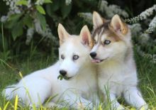 Remarkable Pomsky Puppies For Adoption