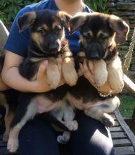 Smart German Shepherd Puppies For Adoption