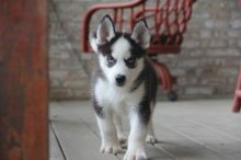 Potty Trained Blues Eyes Siberian Huskies Puppies