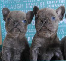 Blue/Grey French Bulldog Puppies Call/Text (514) 416-4127