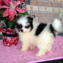 Pomeranian puppies ready for their new homes