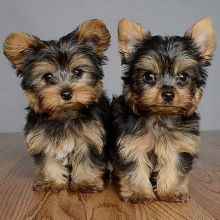 Beautiful Yorkshire Terrier available for adoption