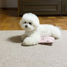 Bichon Frise Puppies For Adoption