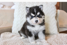 Pomsky Puppies for adoption🔥🔥🐶🐶