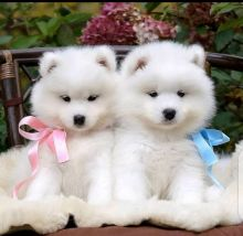Potty trained Samoyed puppies available for adoption