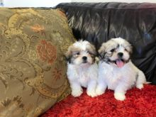 Purebred Shih Tzu puppies available. Call or Text @(431) 803-0444