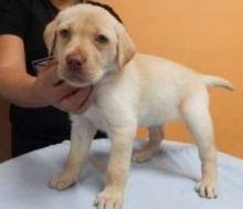 Male and Female Labrador Retriever Pups for adoption. Call or Text @ (431) 803-0444