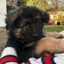 German Shepherd Puppies for Pet-Loving Family