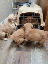 Golden Retriever Puppies For Sale, Text +1 (270) 560-7621