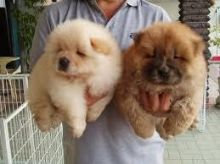 Adorable Chow Chow Puppies Now Ready For Adoption Image eClassifieds4U