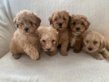 Active Cavapoo Puppies For Adoption