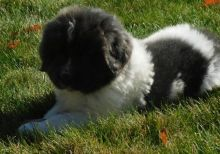 Newfoundland Puppies For Sale, Text +1 (270) 560-7621