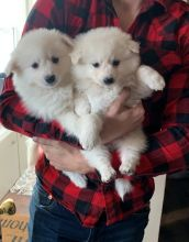 American Eskimo Puppies For Sale, Text +1 (270) 560-7621 Image eClassifieds4u 2