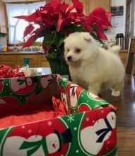 American Eskimo Puppies For Sale, Text +1 (270) 560-7621 Image eClassifieds4u 1
