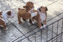 Beautiful English Bulldog Puppies for adoption Image eClassifieds4U