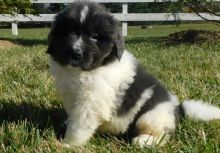 Newfoundland Puppies For Sale, Text +1 (270) 560-7621 Image eClassifieds4u 2