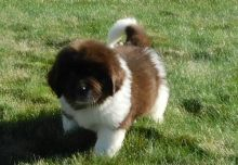Newfoundland Puppies For Sale, Text +1 (270) 560-7621 Image eClassifieds4u 3
