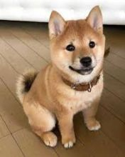 Shiba Inu Puppies for adoption. Call or Text @(431) 803-0444