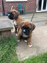 Healthy Male and female Boxer puppies for Re-Homing