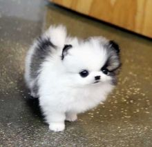 Teacup Pomeranian Puppies Available For New Homes
