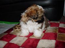 SHih tzu puppies available for adoption. drop an email (lindsayurbin@gmail.com) Image eClassifieds4u 2