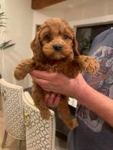 Healthy Male and Female Cavapoo Puppies Available For Adoption Email us❤️baldsandhar@gmail.com � Image eClassifieds4U