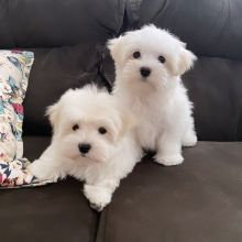 Adorable Maltese puppies ready for adoption