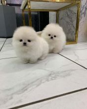 Amazing Pomeranian Puppies ready for their new home