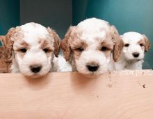 Beautiful poodle Puppies ready for adoption