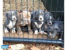 Blue Nose Pitbull puppies male and female looking for their forever home
