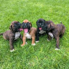 Charming Boxer Puppies for rehoming